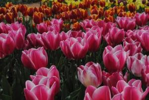 парад  тюльпанов 11