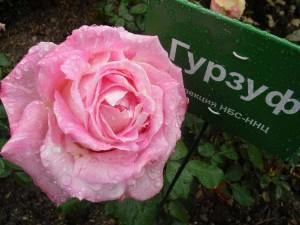 розы6
